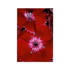 Sweet William (Dianthus barbatus) Rectangle Magnet