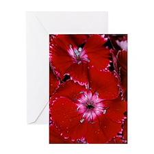 Sweet William (Dianthus barbatus) fl Greeting Card