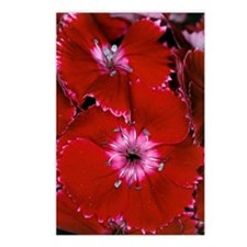Sweet William (Dianthus b Postcards (Package of 8)