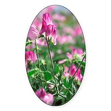 Sweet pea (Lathyrus odoratus 'Lizbe Decal