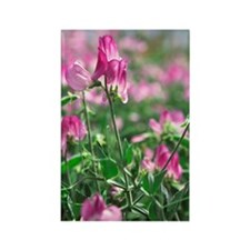 Sweet pea (Lathyrus odoratus 'Liz Rectangle Magnet
