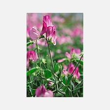 Sweet pea (Lathyrus odoratus 'Liz Rectangle Magnet