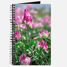 Sweet pea (Lathyrus odoratus 'Lizbeth') Journal