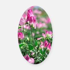 Sweet pea (Lathyrus odoratus 'Lizb Oval Car Magnet