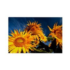 Sunflowers against the sky Rectangle Magnet