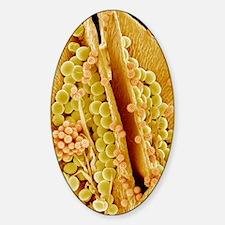 Sunflower pistil, SEM Sticker (Oval)