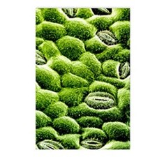 Stomata on epidermis of r Postcards (Package of 8)
