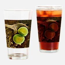 Staphylococcus aureus bacteria, SEM Drinking Glass