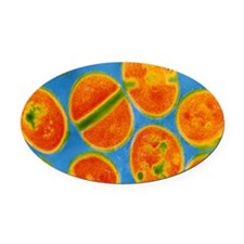 Staphylococcus aureus bacteria Oval Car Magnet