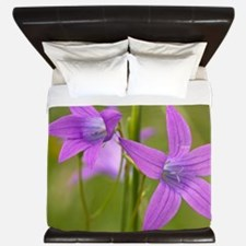 Spreading bellflower (Campanula patula) King Duvet