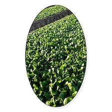 Spinach crop Decal