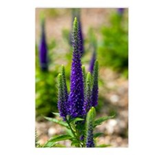 Speedwell (Veronica 'Darw Postcards (Package of 8)