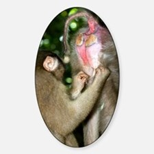 Southern pig-tailed macaques Decal