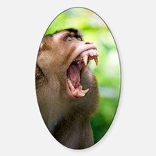 Southern pig-tailed macaque Decal