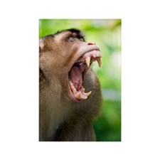 Southern pig-tailed macaque Rectangle Magnet