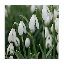 Snowdrop (Galanthus nivalis) flowers Tile Coaster
