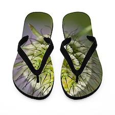 Small Scabious (Scabiosa columbaria) Flip Flops