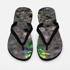 Small alyssum (Alyssum alyssoides) Flip Flops