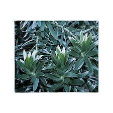 Silver tree (Leucadendron argenteum) Throw Blanket