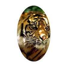 Siberian Tiger Oval Car Magnet