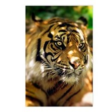 Siberian Tiger Postcards (Package of 8)