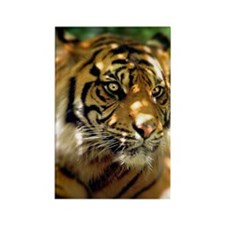 Siberian Tiger Rectangle Magnet