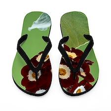 Show auricula 'Cheyenne' flowers Flip Flops