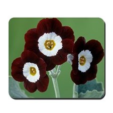 Show auricula 'Old Red Elvet' flowers Mousepad
