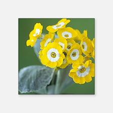 "Show auricula 'Golden Fleec Square Sticker 3"" x 3"""