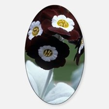 Show auricula 'Gizabroon' flowers Decal