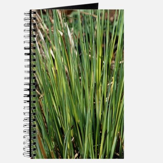 Sedge 'Evergold' Journal