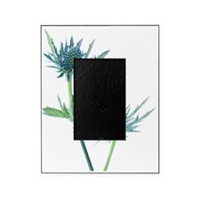 Sea holly (Eryngium sp.) Picture Frame