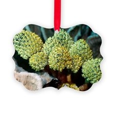 Sea squirts on coral Ornament