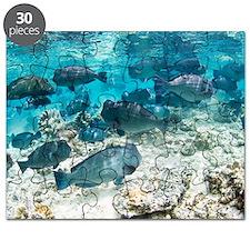 School of bumphead parrotfish Puzzle