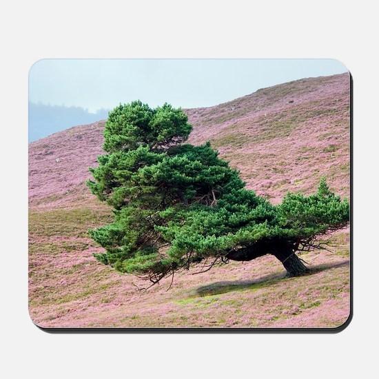 Scots pine tree (Pinus sylvestris) Mousepad