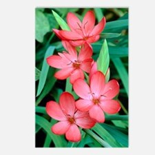 Schizostylis coccinea 'Sn Postcards (Package of 8)