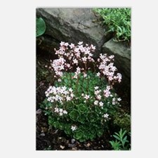 Saxifraga 'Winifred Bevin Postcards (Package of 8)