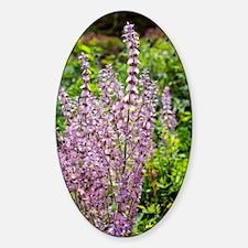 Salvia sclarea var. turkestanica Sticker (Oval)