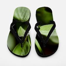 Sage (Salvia officinalis) Flip Flops