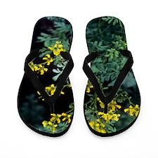Rue (Ruta graveolens) Flip Flops