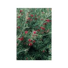 Rosemary Leafed Grevillea Rectangle Magnet