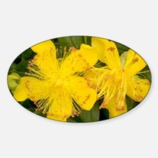 Rose-of-Sharon (Hypericum calycinum Decal