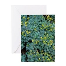 Rue (Ruta graveolens 'Jackman's Blue Greeting Card