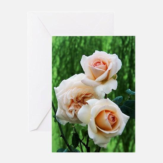 Rose flowers (Rosa 'Penny Lane') Greeting Card