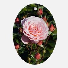 Rose (Rosa 'Sexy Rexie') Oval Ornament