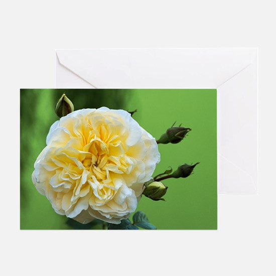 Rose (Rosa 'Perpetually Yours') Greeting Card