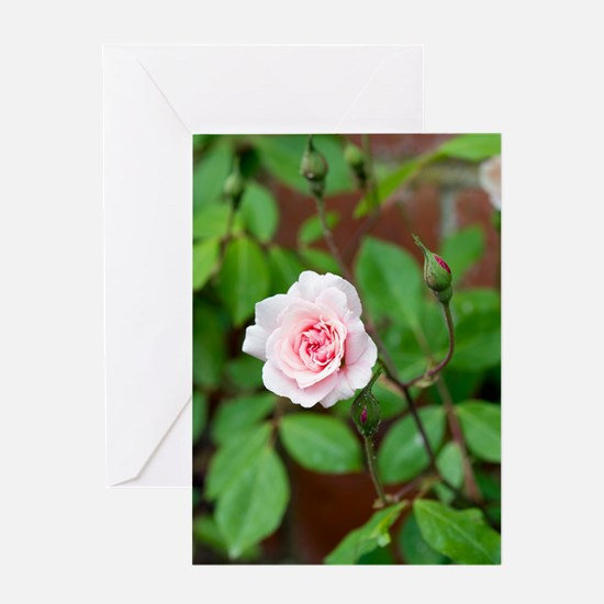 Rosa 'Climbing Cecile Brunner' Greeting Card