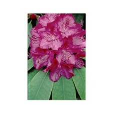 Rhododendron 'Cynthia' Rectangle Magnet