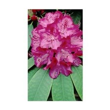 Rhododendron 'Cynthia' Decal
