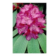 Rhododendron 'Cynthia' Postcards (Package of 8)